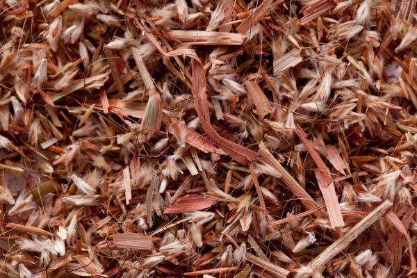 Palmarosa grass seeds (Cymbopogon martinii) zur Gewinnung von Palmarosa bio (ätherisches Öl)