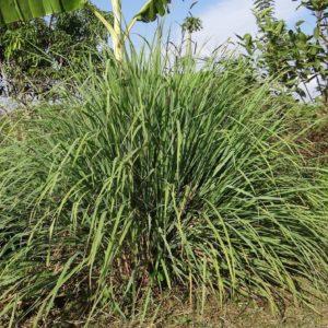 Zitronengras zur Gewinnung von Ahibero (Tsaure) bio - Cimbopogon giganteus (ätherisches Öl)