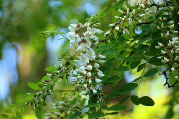 Akazienblüten am Baum zur Gewinnung von Akazienblüten absolue (Akazieblüte absolue (Acacia farnesiana)