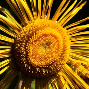Alantblüte zur Gewinnung von Alant bio - ätherisches Öl - (Inule graveolens)