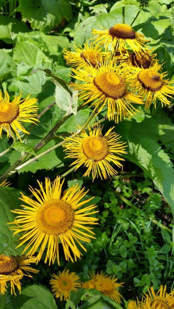 Alantstrauch mit Blüten zur Gewinnung von Alantöl bio-ätherisches Öl-(Inule Graveolens)