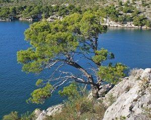 Kiefer zur Gewinnung Aleppo-Kiefer (Pinus halepensis)