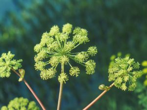 Angelica archangelica L.