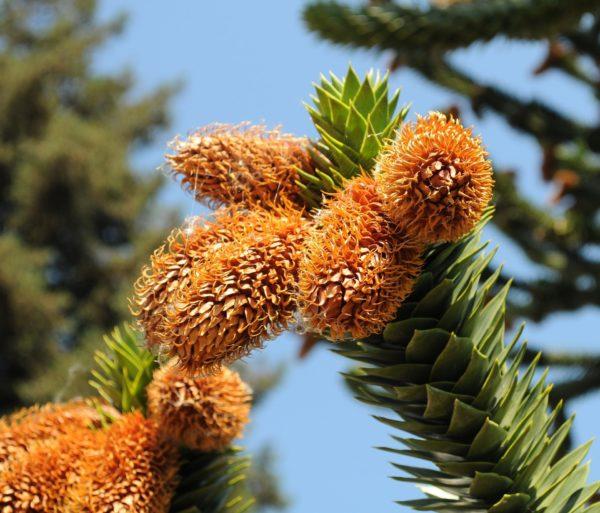 Araucaria mit Blüten zur Gewinnung von Araucaria ätherisches Öl