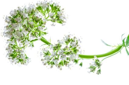 Baldrianpflanze zur Gewinnung von Baldrian bio (Valeriana officinalis) ätherisches Öl