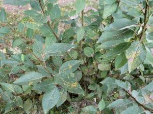 Balsam Pappel zur Gewinnung von Balsam-Pappel (Populus balsamifera)