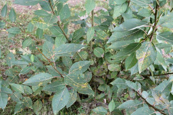 Balsam Pappel zur Gewinnung von Balsam-Pappel-Öl (Populus balsamifera)