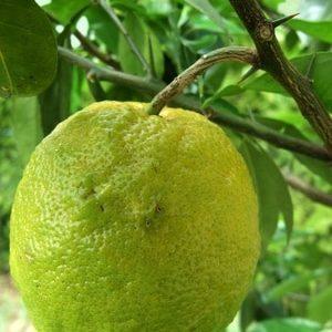 Bergamotte an Ast zur Herstellung von Bergamotte bio (Bergamottenöl)