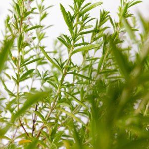 Bergbohnenkraut zur Gewinnung von Bergbohnenkraut bio - Satureja montana (ätherisches Öl)