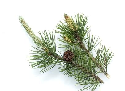 Latschenkiefer, Bergkiefer, Pinus mugo zur Gewinnung von Latschenkiefer bio (Ätherisches Öl)