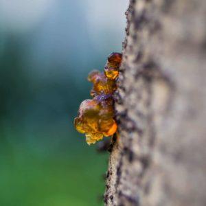Birken mit Harztropfen zur Gewinnung von Birkenteer (ätherisches Öl)