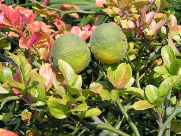 Bitter-orange-mit Blüten zur Herstellung von Neroli bio 10% (Jojobaöl Verdünnung)