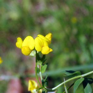Bockshornklee mit Blüte zur Gewinnung von Bockshornklee absolue