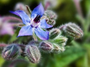 Borretsch - Borago officinalis seed oil