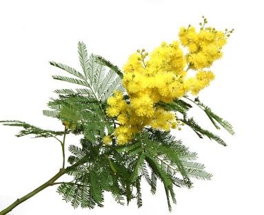 Acacia dealbata - falsche Mimose zur Gewinnung von Mimose absolue 100% (Acacia dealbata)