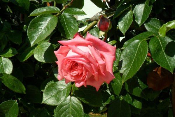 Rose Bulgarien zur Gewinnung von Rose Bulgarien absolue 10% (Alkoholverdünnung)