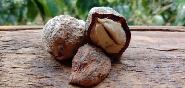 Candlenut_Kukuinus zur Gewinnung von Kukuinussöl Aloha bio