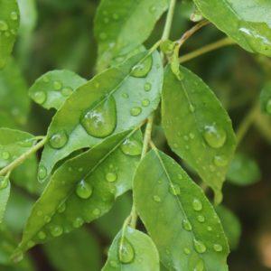 Curryblätter zur Herstellung von Curryblätter (ätherisches Öl)