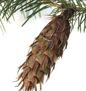 Douglasie, Pseudotsuga zur Gewinnung von Douglasfichte bio (ätherisches Öl)