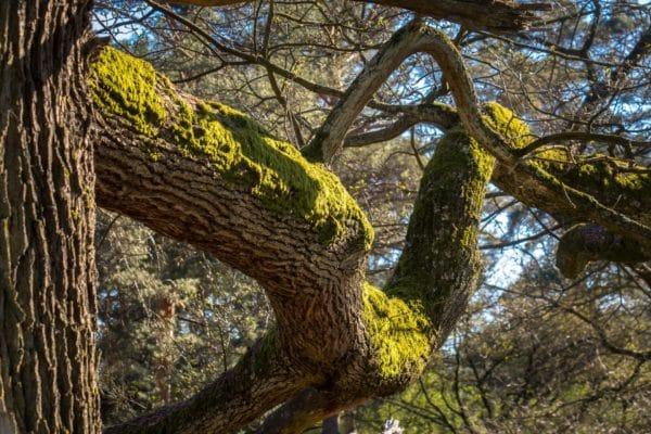Moos an Eichenbaum zur Gewinnung von Eichenmoos absolue grün 60% (Alkoholverdünnung)