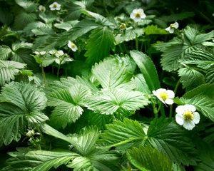 Erdbeerblätter zur Herstellung von Erdbeerblätter absolue 20% (Alkoholverdünnung)