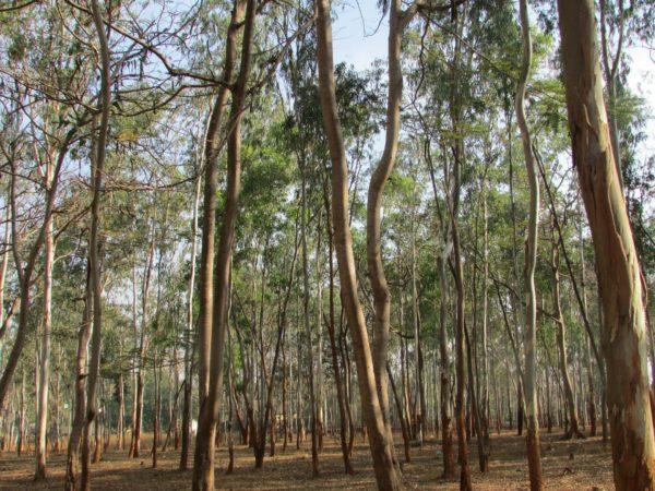 Eukalyptus Bäume zur Gewinnung von Eukalyptus sieberi (ätherisches Öl)