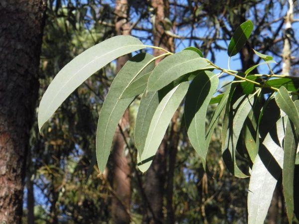 Eukalyptusblätter zur Gewinnung von Eukalyptus citriodora bio