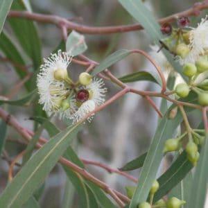 blue-leaved oil mallee zur Gewinnung von Eucalyptus polybractea Eukalyptus polybractea cl bio