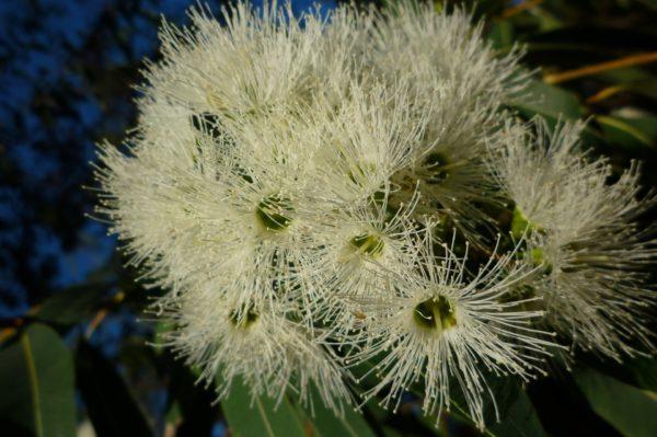 Eukalyptus viminalis - white gum zur Gewinnung von