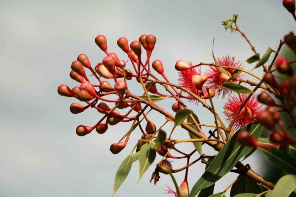Eukalyptus-camaldulensis zur Gewinnung von Eukalyptus camaldulensis bio