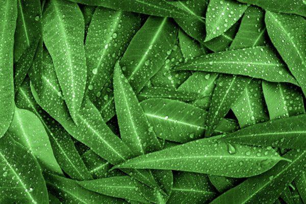 Eukalyptus_Syncarpia zur Gewinnung von Eukalyptus syncarpia (ätherisches Öl)