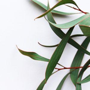 Eukalyptusblätter grün zur Gewinnung von Eukalyptusblätter grün