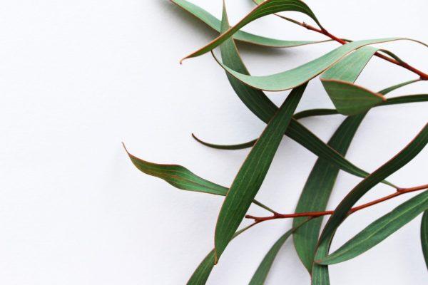 Eukalyptusblätter grün zur Gewinnung von Eukalyptus radiata bio (ätherisches Öl)
