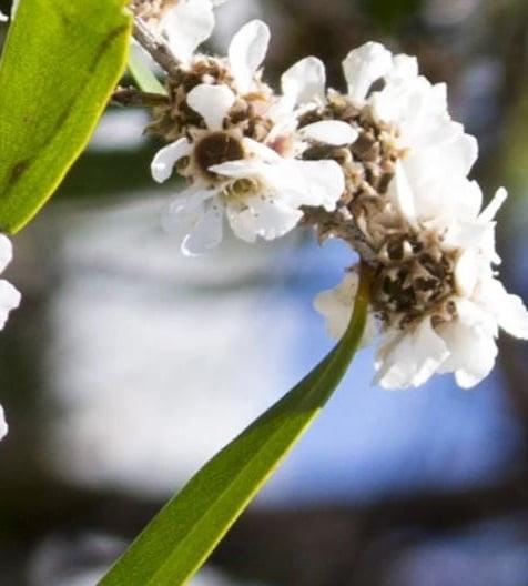 Agonis fragrans zur Gewinnung von Fragonia (ätherisches Öl)