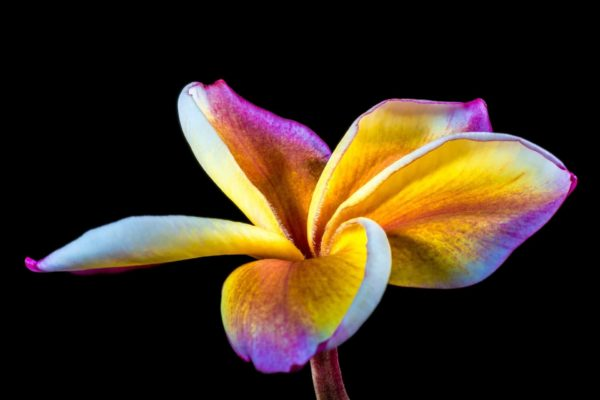 Frangipani Blüte zur Gewinnung von Frangipani Absolue 100%