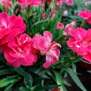 Gartennelke rot zur Gewinnung von Gartennelke 10% (Alkoholverdünnung)