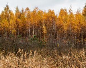 Betula alleghaniensich Britton - Gelbbirke