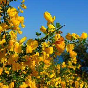Ginsterblüten am Baum zur Herstellung von Ginster absolue 20% (Alkoholverdünnung)