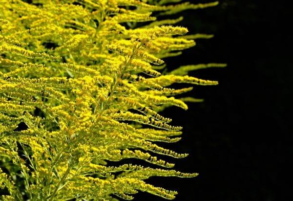 Goldrute Strauch zur Gewinnung von Goldrute bio (ätherisches Öl)