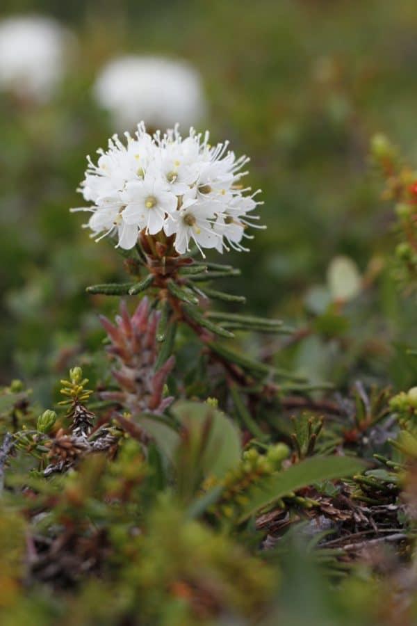 rhododendron-groenlandicum zur Gewinnung von Ledum - Grönland Porst (ätherisches Öl)