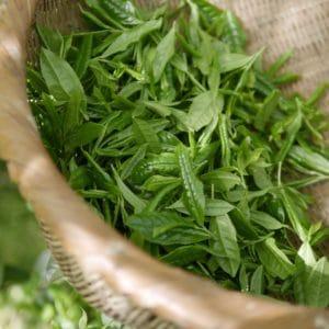 Blätter von grünem Tee zur Herstellung von Tee grün Resinoid 50% (Alkoholverdünnung)