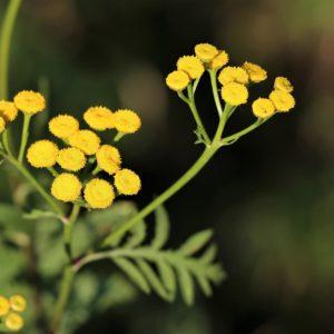 Strohblume zur Herstellung von Helichrysum faradifani (ätherisches Öl)