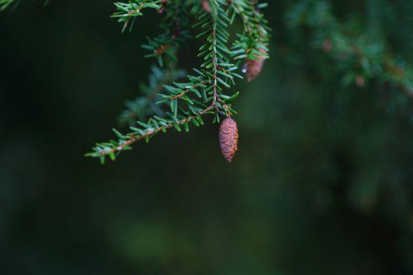 Hemlocktannenzweig mit Frucht zur Gewinnung von Hemlocktanne bio (ätherisches Öl)