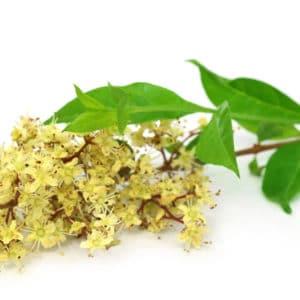 Hennablüten zur Gewinnung von Henna weiß (ätherisches Öl)