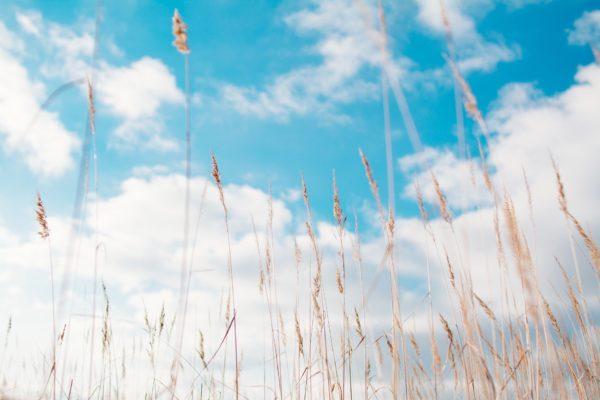 Heu-Gras zur Herstellung von Heu absolue 50% (Alkoholverdünnung)