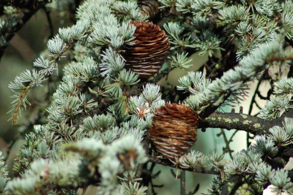 Zweig der Himalaya Zeder zur Gewinnung von Zedernholz Atlas Zweige bio (ätherisches Öl)