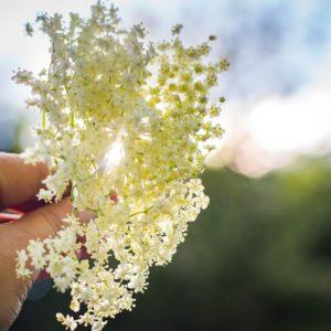 Holunderblütenzweig zur Gewinnung von Holunderblüte absolue