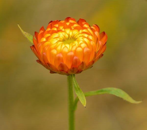 Immortellenblüte orange zur Gewinnung von Immortellenwasser bio (Immortellenhydrolat)