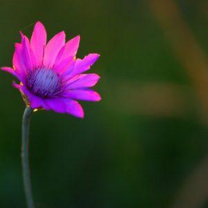 Immortelle lila zur Gewinnung von Immortelle Afrika