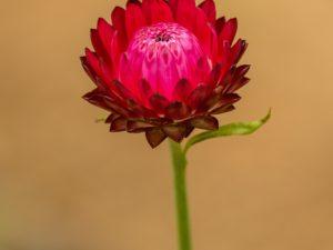 Immortelle Blüte rot zur Gewinnung von Immortelle Madagaskar bio